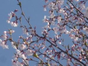 津軽の桜 開花